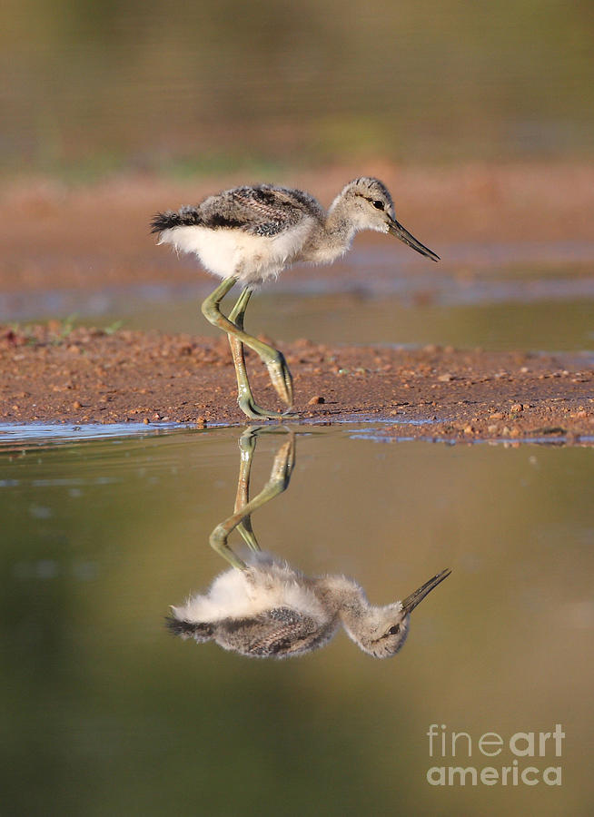 Avocet Photograph - Avocet Chick  by Ruth Jolly