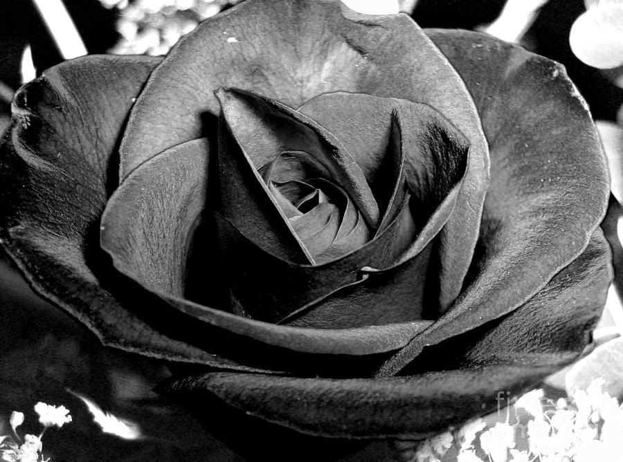 Awakened Photograph - Awakened Black Rose by Nina Ficur Feenan