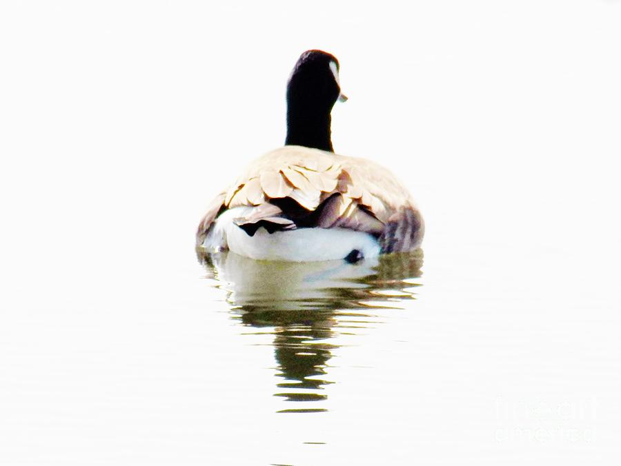 Goose Photograph - Away by Judy Via-Wolff