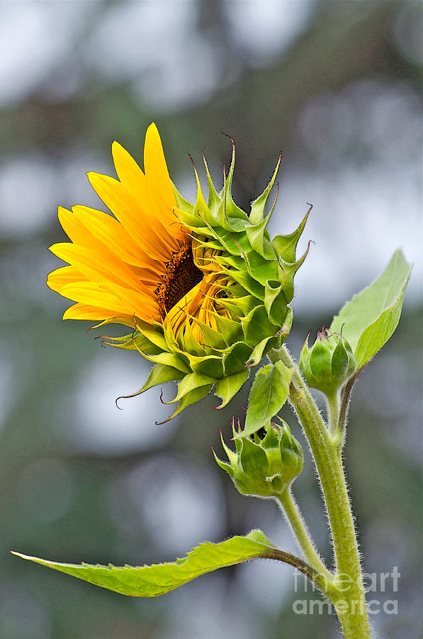 Sunflower Photograph - Awe What The Heck by Gwyn Newcombe