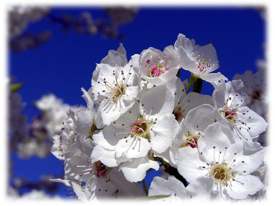 Spring Photograph - Awsome Blossoms by Gerry Childs