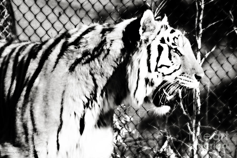 Axl - Tiger In Black And White Photograph