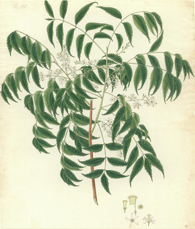 Angiosperm Photograph - Azadirachta Indica by Natural History Museum, London
