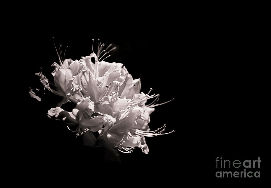 Black & White Photograph - Azalea Black And White Floral  II by Holly Martin