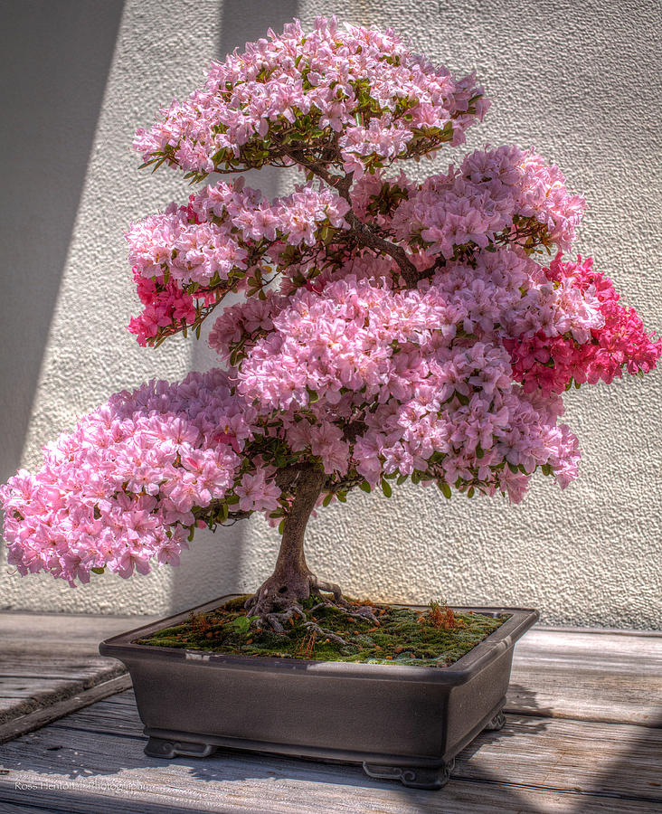 Hdr Photograph - Azalea Bonsai by Ross Henton