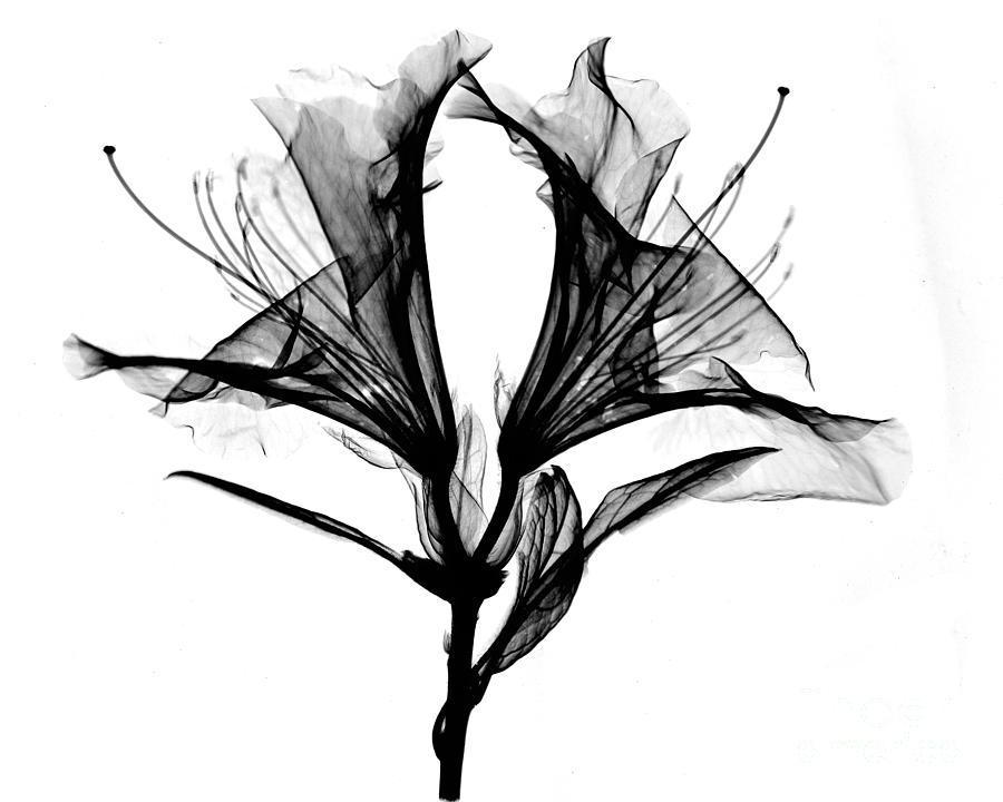 Azalea Flower X Ray Photograph By Bert Myers