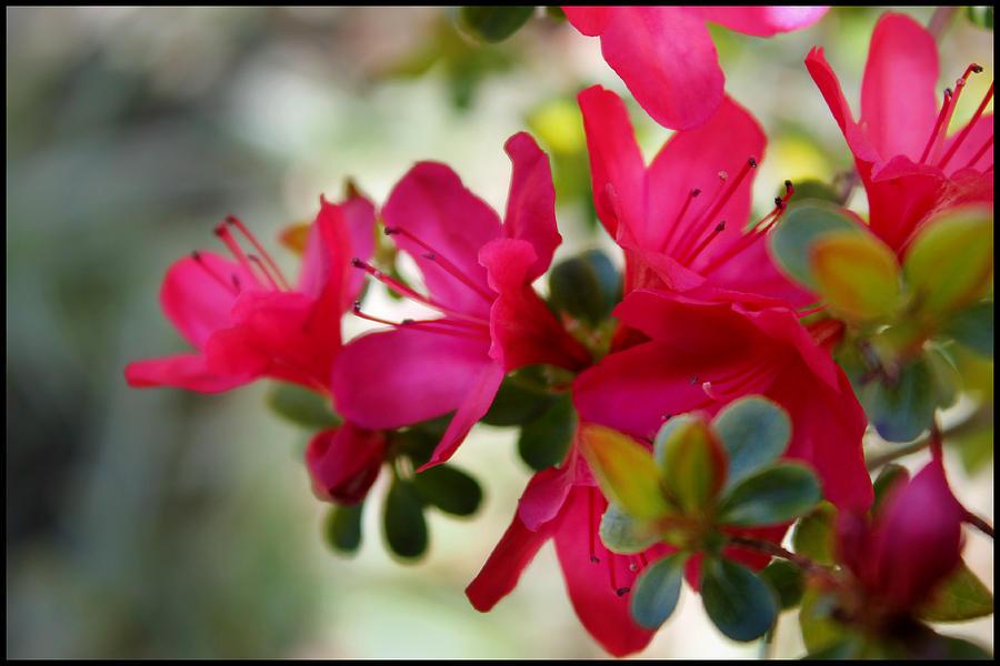 Flower Photograph - Azalea Iv by Aya Murrells