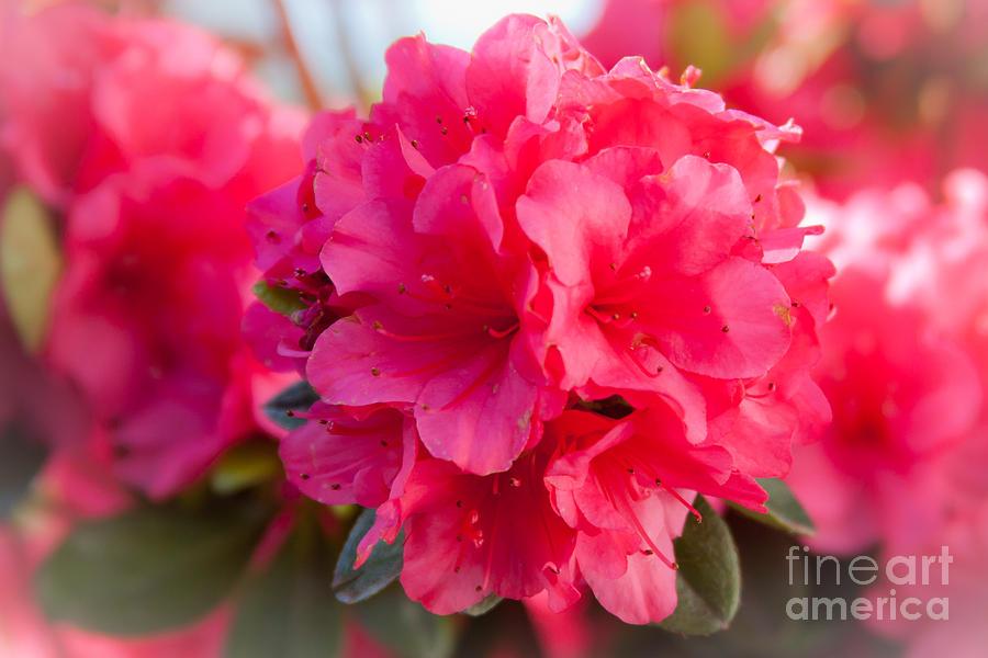 Flowers Photograph - Azalea by Wayne Valler