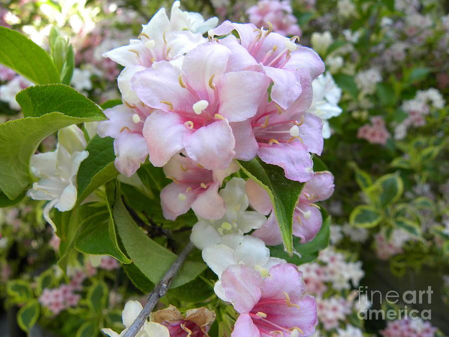 Azaleas Photograph - Azaleas 2 by Laura Yamada