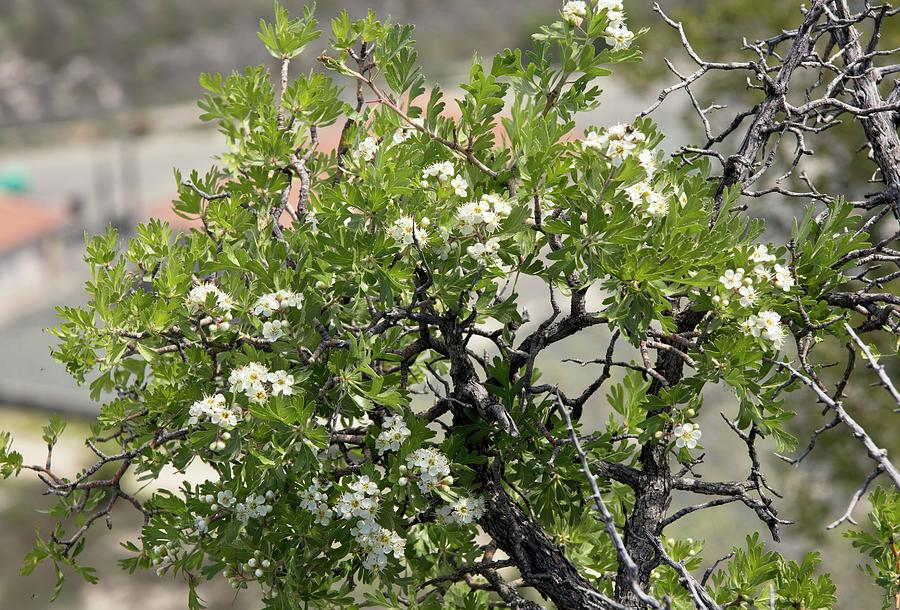 Nobody Photograph - Azarole (crataegus Azarolus) In Flower by Bob Gibbons