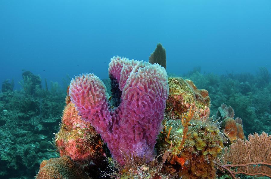 Azure Vase Sponge Callyspongia Photograph By Pete Oxford