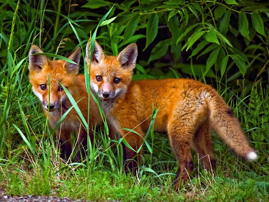 Fox Photograph - Babes In The Woods by Steve Harrington