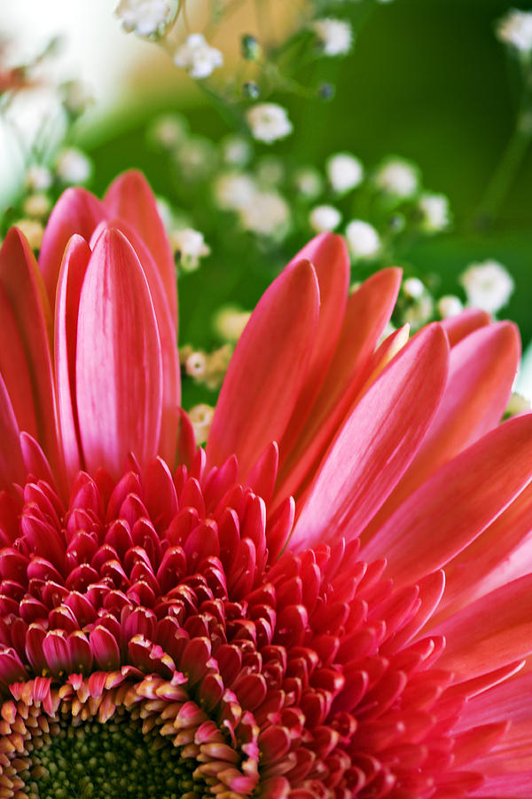 Babies Photograph - Babies Breath And Gerber Daisy by Marilyn Hunt