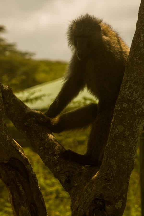 Africa Photograph - Baboon In Tree by Jennifer Burley