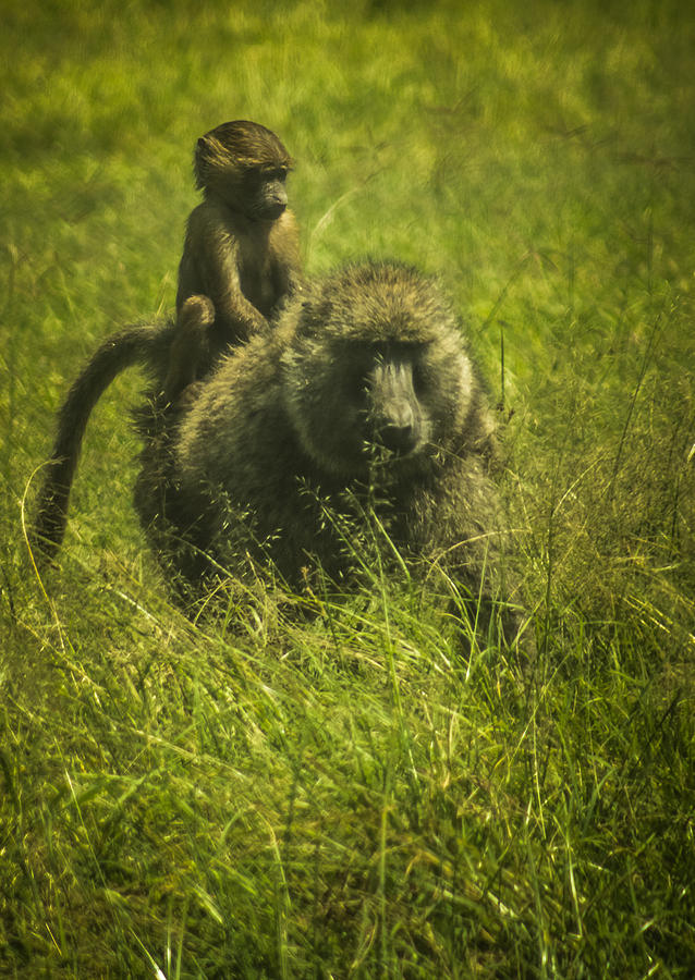 Baboon Photograph - Baboon by Jennifer Burley