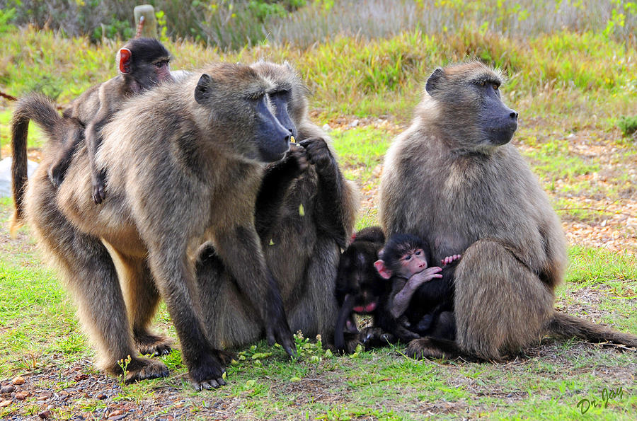 Baboon Photograph - Baboon Troop  by Jay Walshon MD