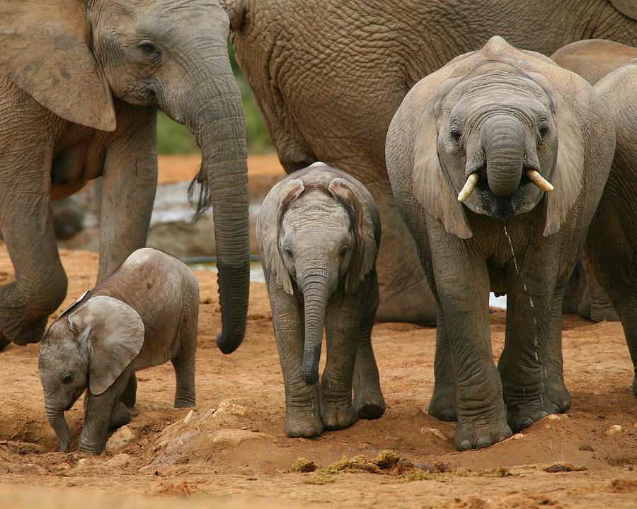 Africa Photograph - Baby African Elephants II by Bruce J Robinson