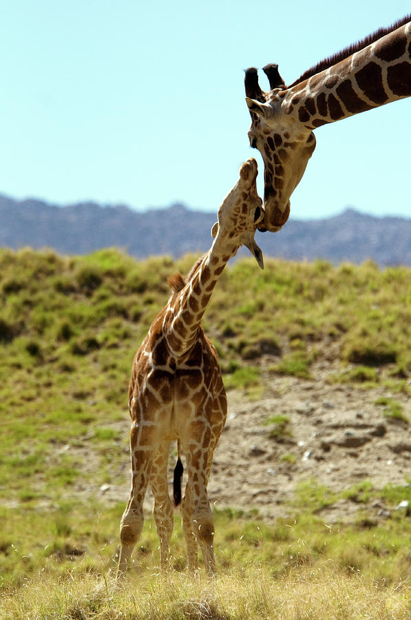 Baby And Mother-reticulated Giraffe Photograph by Mark Newman