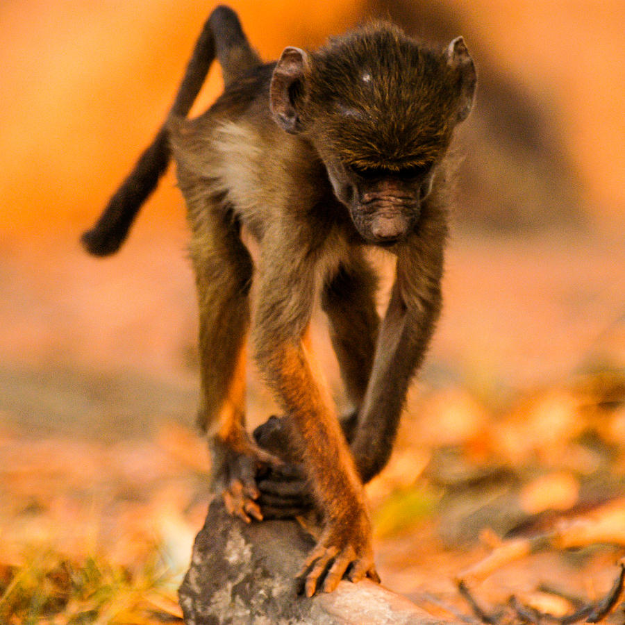 Africa Photograph - Baby Balance by Alistair Lyne