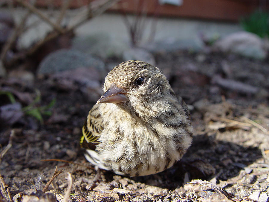 Baby Bird Sunning Photograph