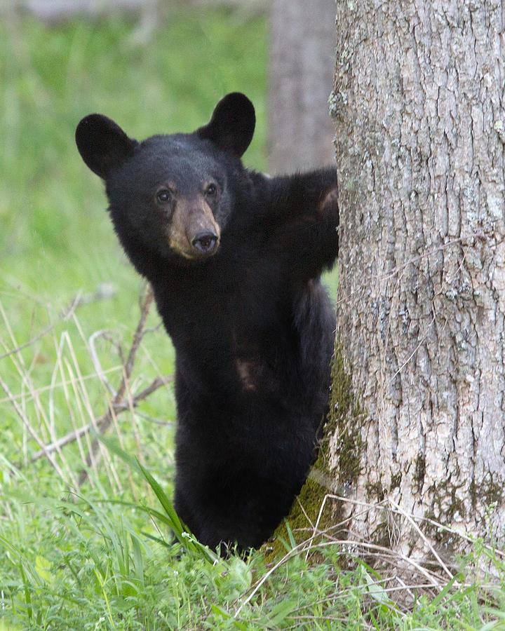 Baby Black Bear Photograph by Jack Nevitt - photo#4