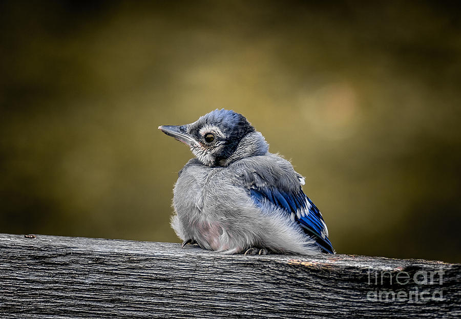 Baby Blue Jay Photograph by Robert Frederick