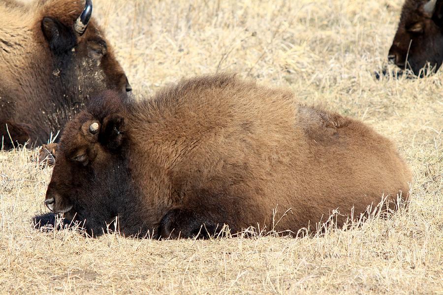 Buffalo Photograph - Baby Buff by Rick Rauzi