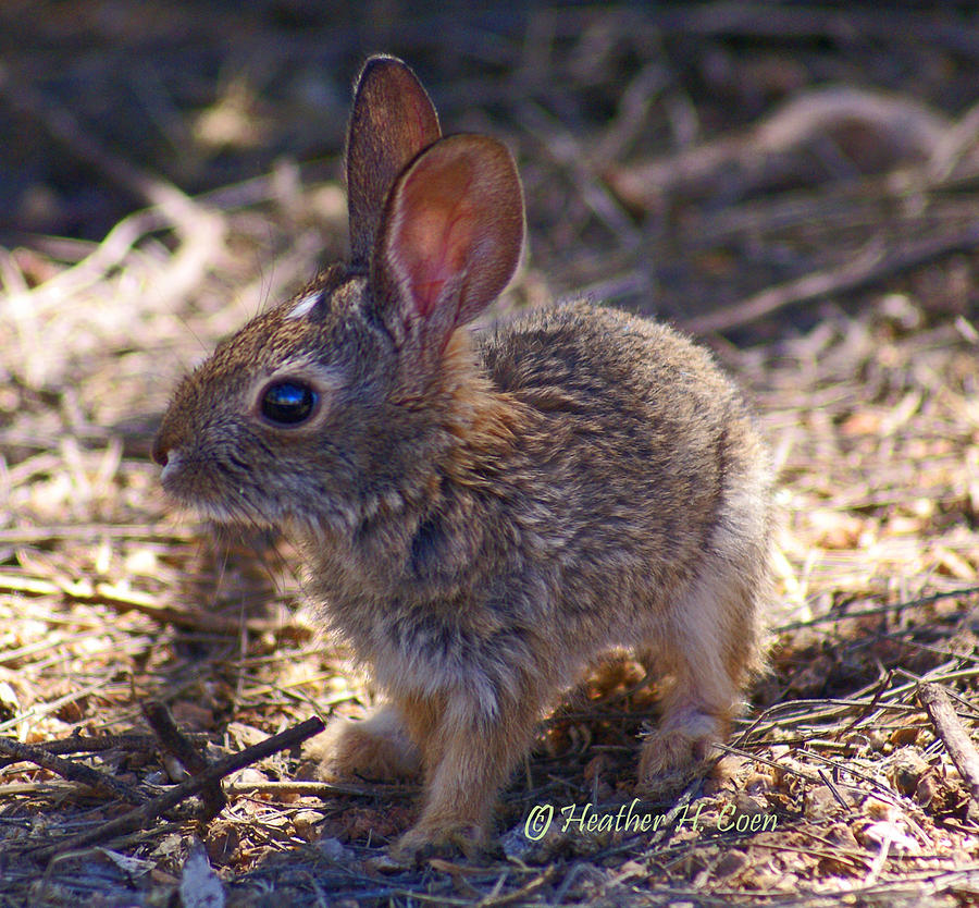 Photograph - Baby Bunny by Heather Coen