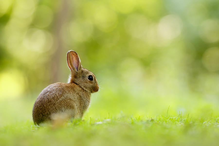 Afternoon Photograph - Baby Bunny in the Forest by Roeselien Raimond