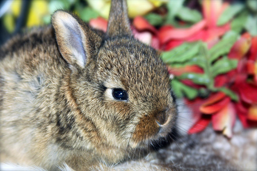 Bunny Photograph - Baby Bunny Rabbit by Karon Melillo DeVega