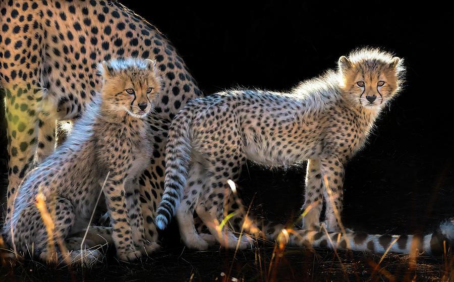 Fur Photograph - Baby Cheetahs by Jun Zuo