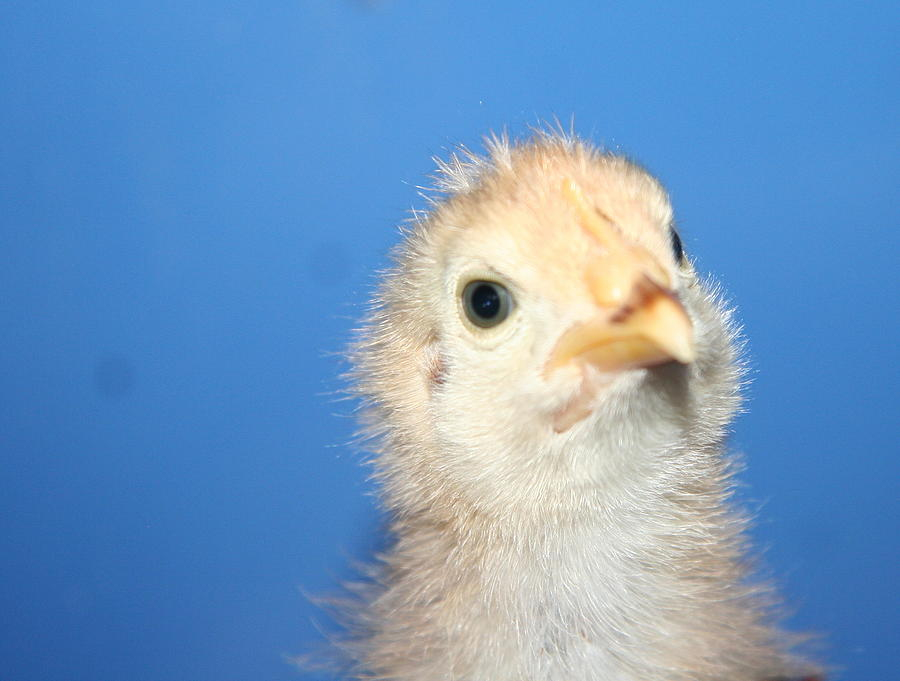 Cute Photograph - Baby Chicken by Carolyn Reinhart