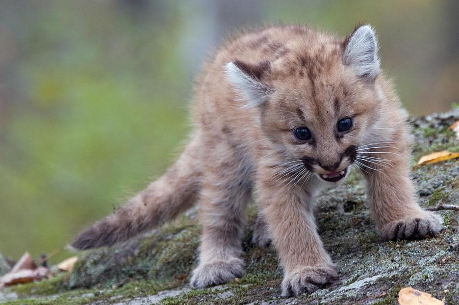 Baby Cougar 4 Photograph by Jennifer Richards