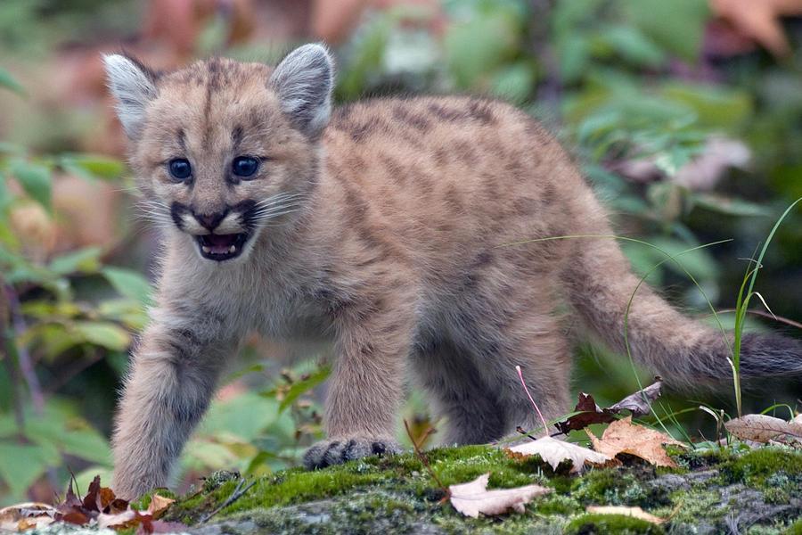 Baby Cougar Roar 2 Photograph by Jennifer Richards