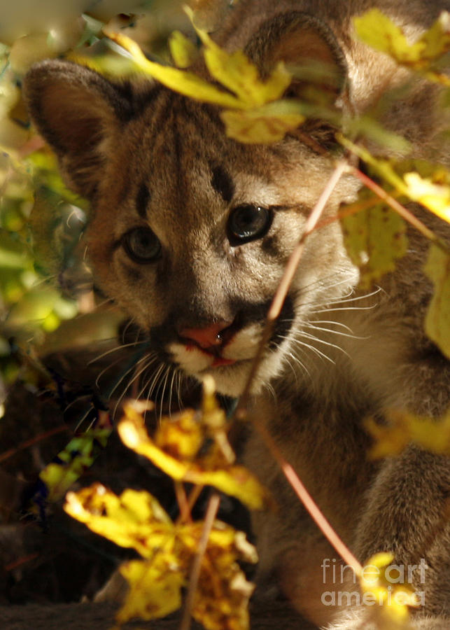 Baby Photograph - Baby Cougar Watching You by Inspired Nature Photography Fine Art Photography