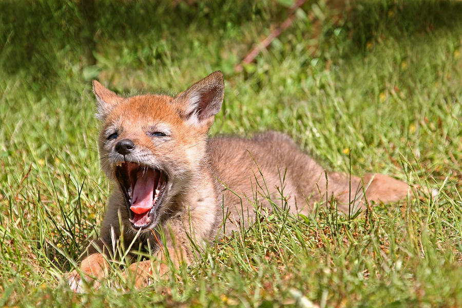 baby coyotes picture - 900×600
