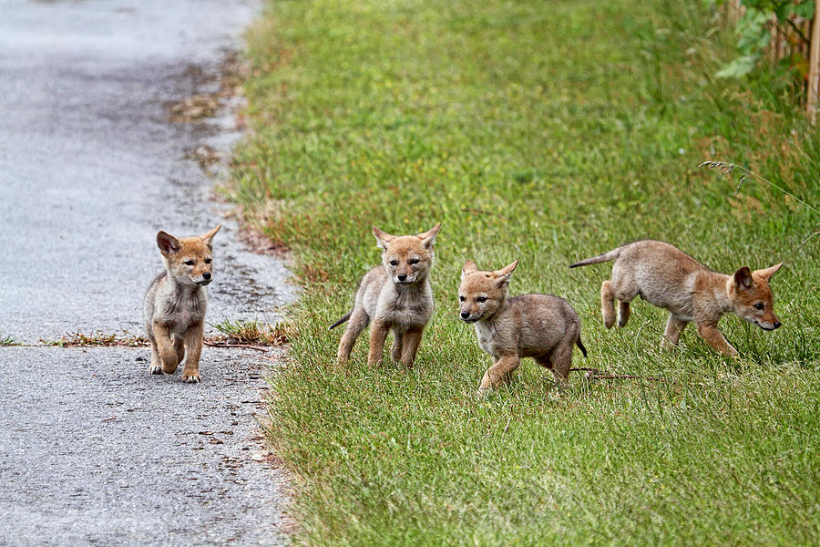 baby coyotes for sale - 800×614