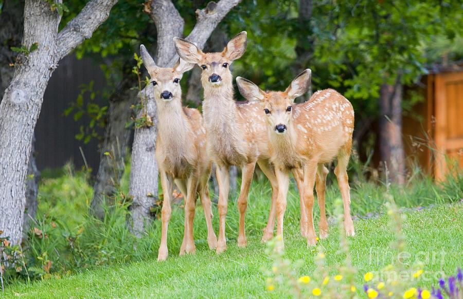 Baby Deer Photograph