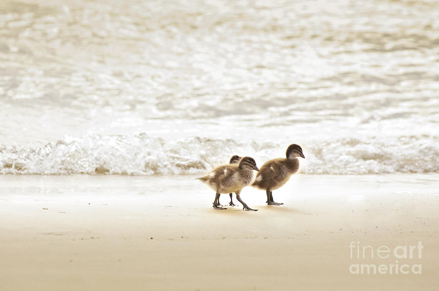 Baby Ducklings Photograph