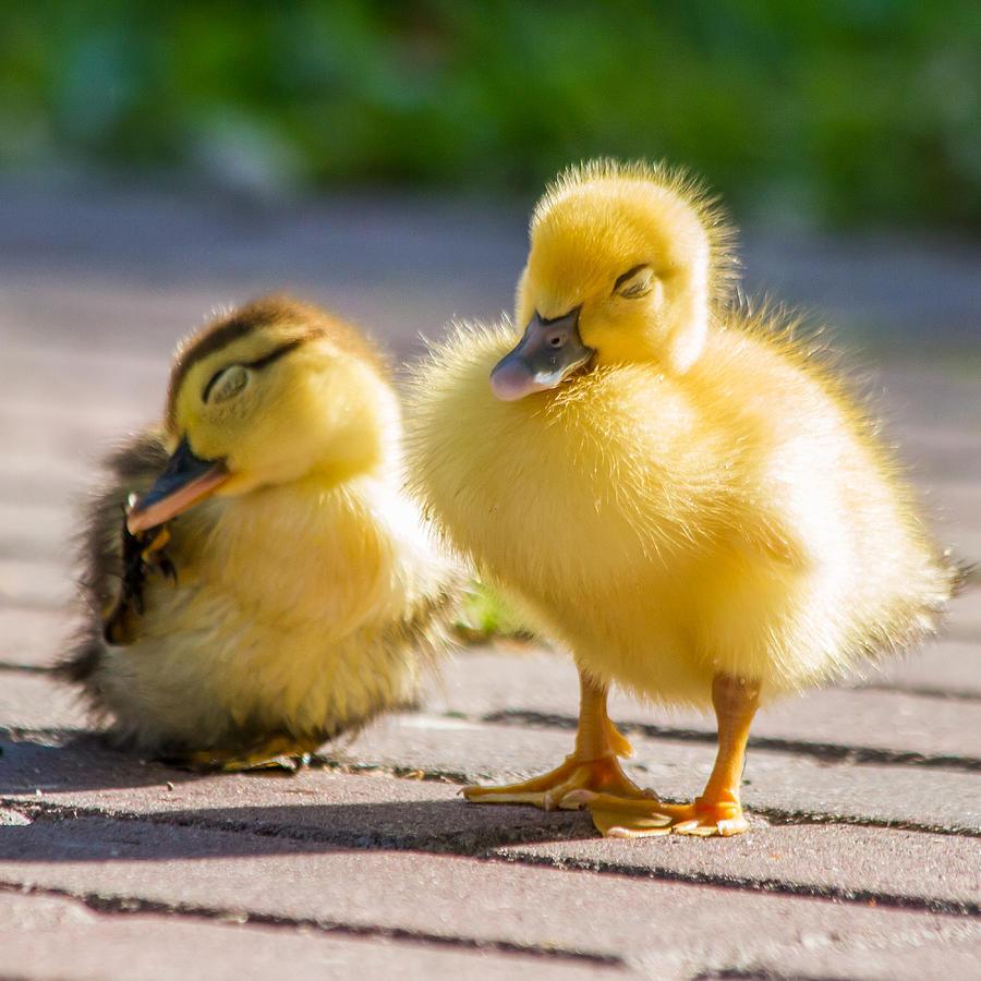 Baby Ducks In The Sun ...