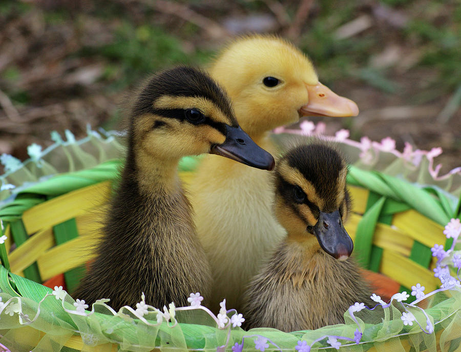 Baby Ducks Photograph By Sandy Keeton