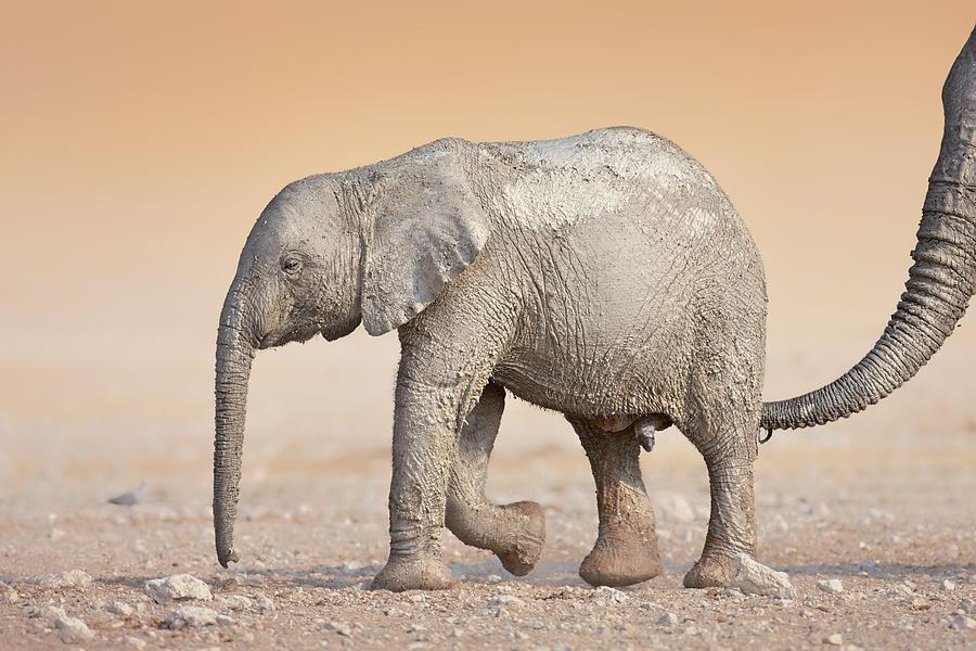 Wild Photograph - Baby elephant  by Johan Swanepoel