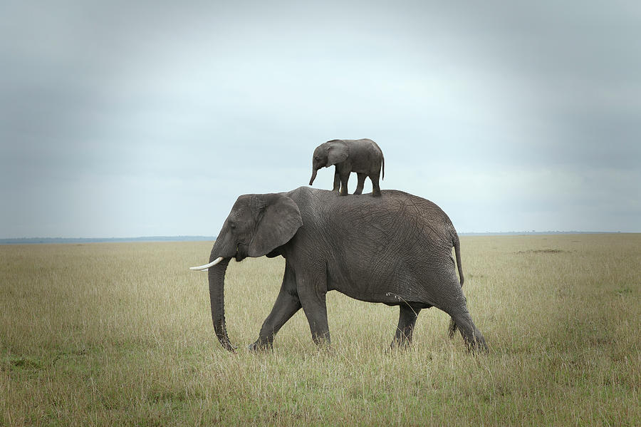 Baby Elephant On The Back Of His Mother Photograph by Buena Vista Images