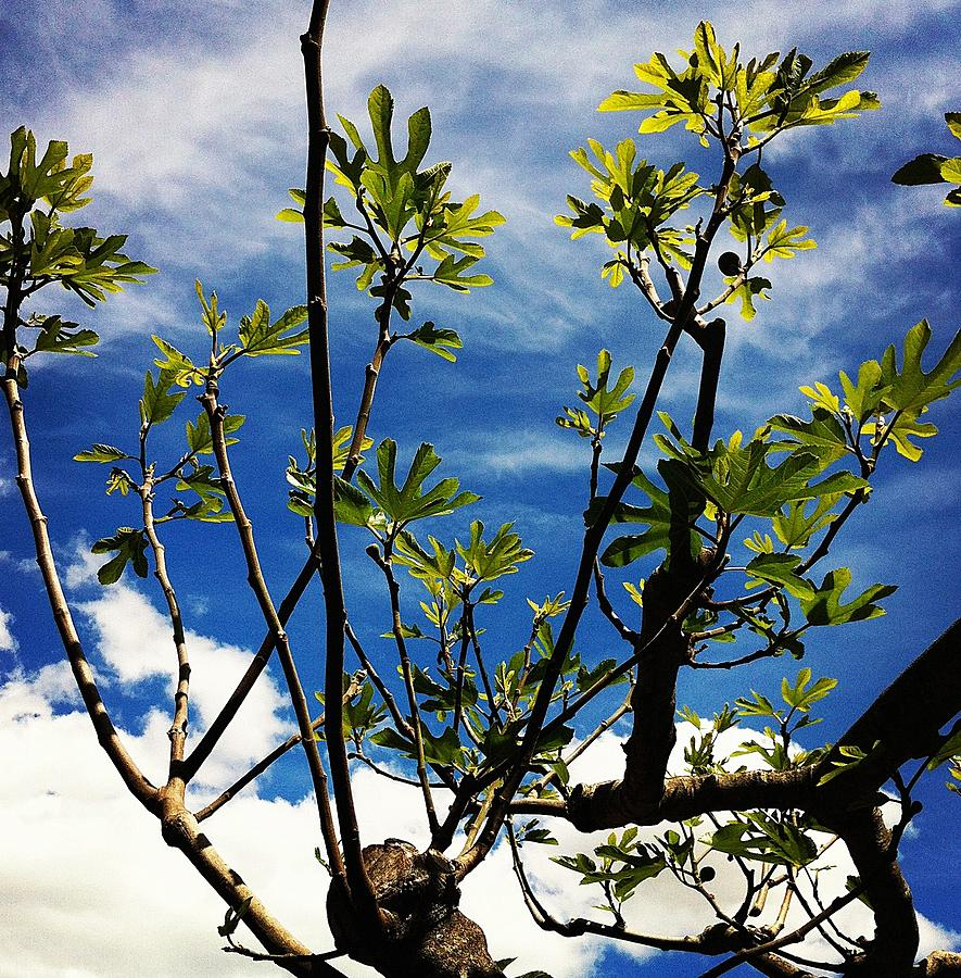 Tree Photograph - Baby Fig by Stephanie Aarons