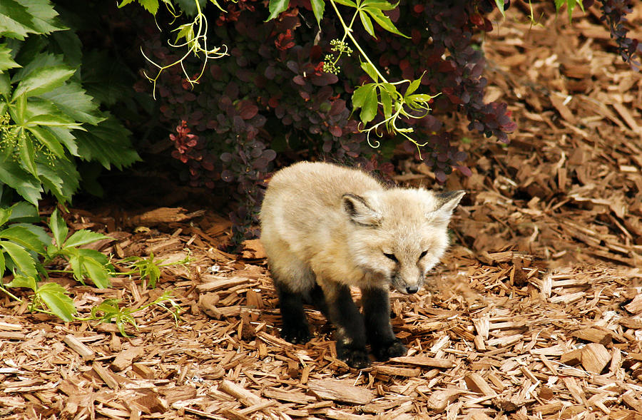 Baby Fox Kit Photograph