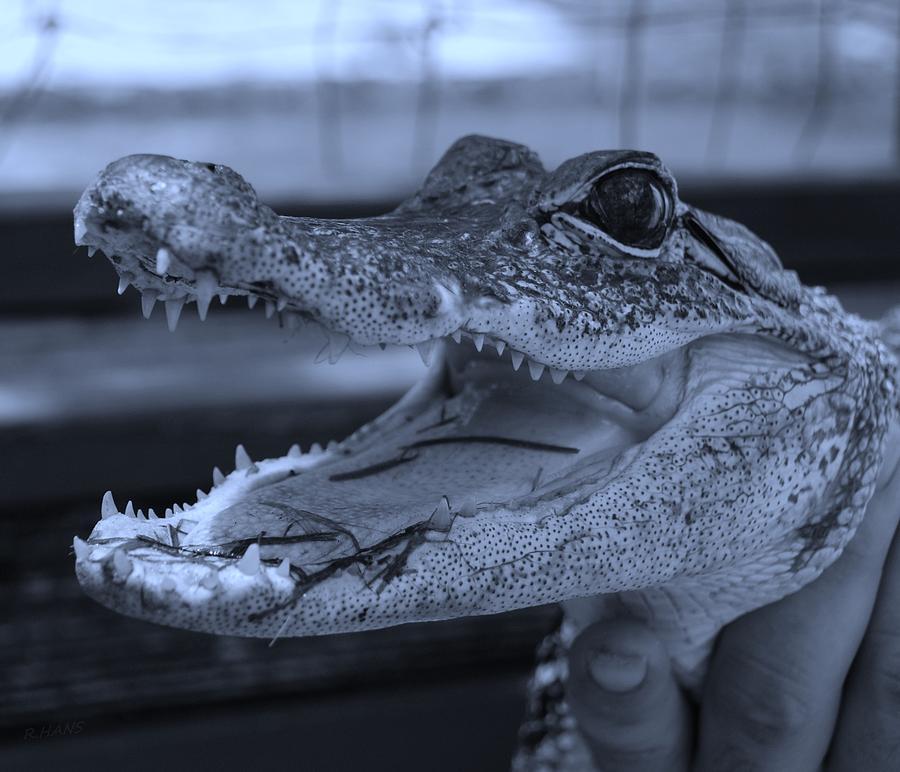 Baby Gator Cyan Photograph