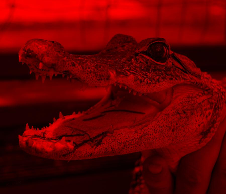 Baby Gator Red Photograph