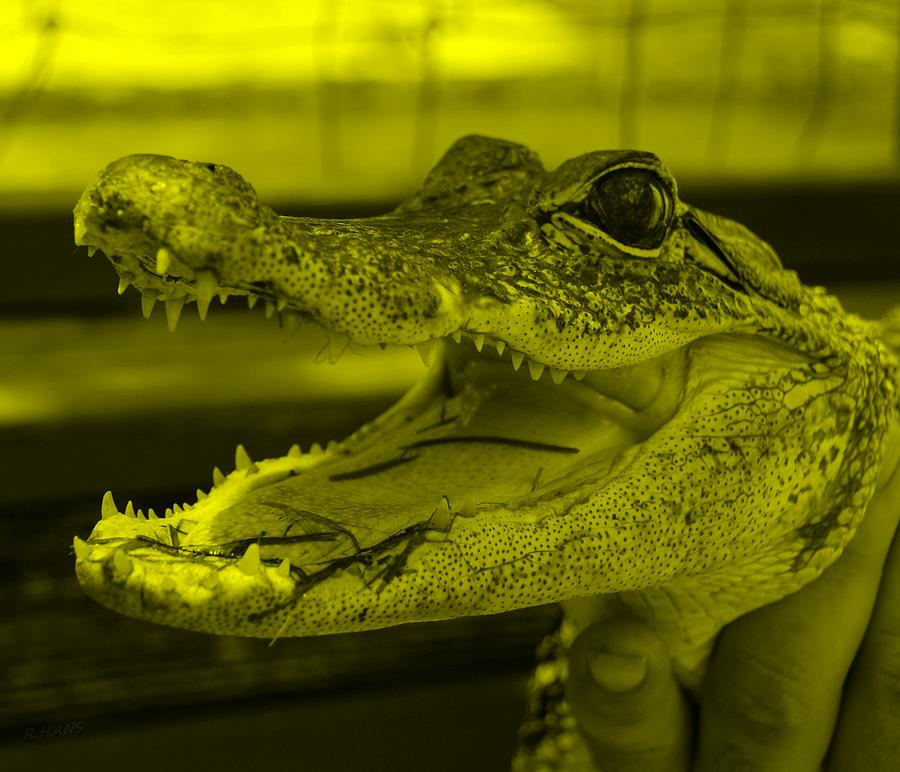 Baby Gator Yellow Photograph