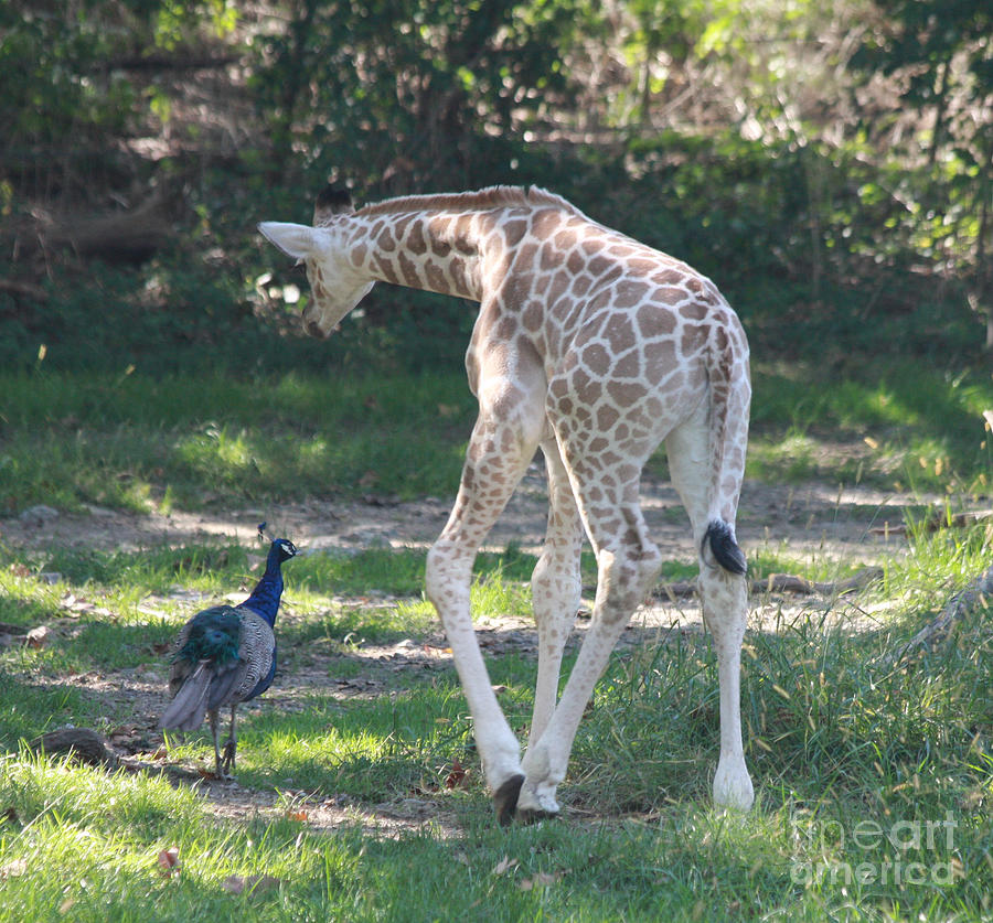 Baby Giraffe And Peacock Out For A Walk Photograph By John