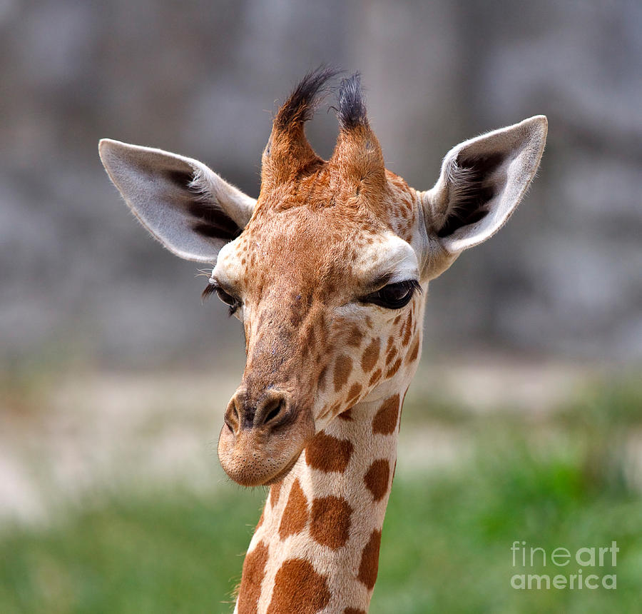 Nature Photograph - Baby Giraffe by Louise Heusinkveld